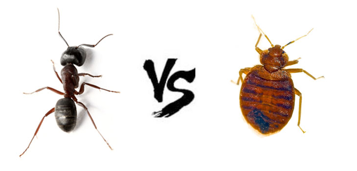 ant vs bed bug